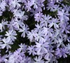 Emerald Cushion Blue Phlox