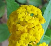 Pot Of Gold Lantana Picture