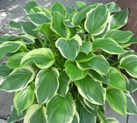 So Sweet Hosta Picture