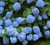 Endless Summer Hydrangea