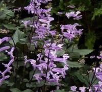 Mona Lavender Plectranthus Picture