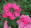 Homestead Pink Verbena