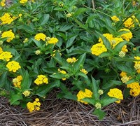 New Gold Lantana Picture