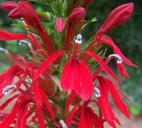 Compliment Deep Red Cardinal Flower Picture