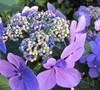 Blue Wave Hydrangea