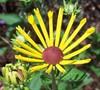 Henry Eiler's Rudbeckia Daisy
