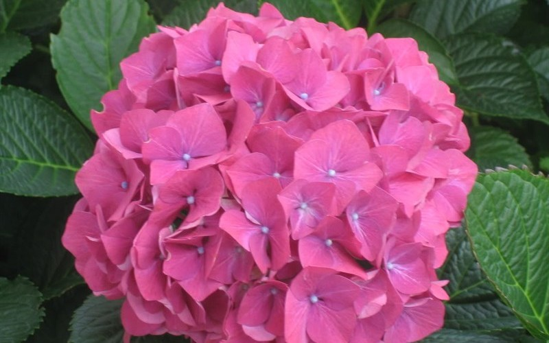 Glowing Embers Hydrangea Picture