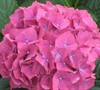 Glowing Embers Hydrangea