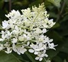 Phantom Hydrangea