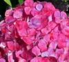 Pink Beauty Hydrangea
