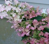 Pink Diamond Hydrangea Picture