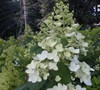 Tardiva Hydrangea