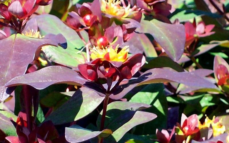 Albury Purple Hypericum Picture
