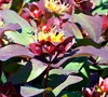 Albury Purple Hypericum Picture