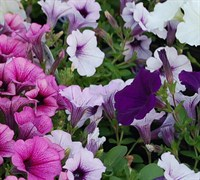 Supertunia Petunia (Series) Picture