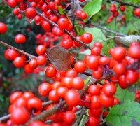 Sparkleberry Holly Picture