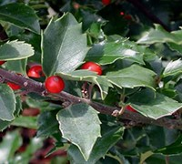 Berri Magic China Holly Combination Picture