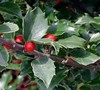 Berri Magic China Holly Combination