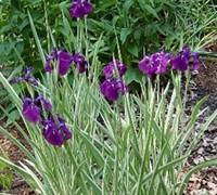 Ensata Variegated Iris Picture