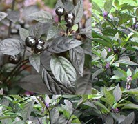 Black Pearl Ornamental Pepper Picture