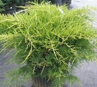 Gold Star Juniper Picture