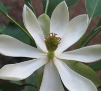 Sweetbay Magnolia Picture