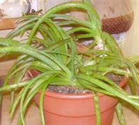 Aloe Vera Picture