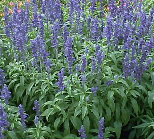 Picture of Victoria Blue Salvia