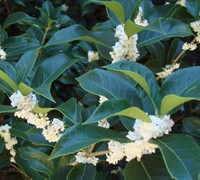 Fortune's Osmanthus Picture