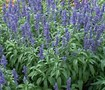 Victoria Blue Salvia