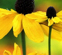 Giant Coneflower Picture