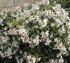 Alba Indian Hawthorne