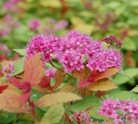 Gold Flame Spirea Picture