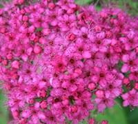 Neon Flash Spirea Picture