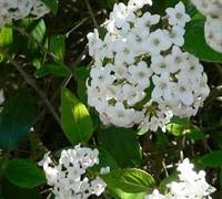 Burkwoodii Viburnum Picture