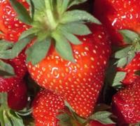 Albion Strawberry Picture