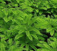 American Maidenhair Fern Picture