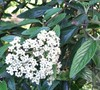 Prague Viburnum