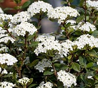 Reifler's Dwarf Viburnum Picture