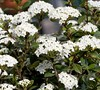 Reifler's Dwarf Viburnum
