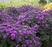 Purple Dome Aster Picture
