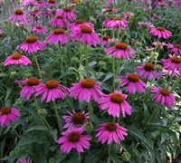 Kims Knee High Coneflower Picture