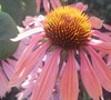 Summer Sky Coneflower