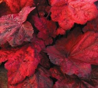 Autumn Leaves Heuchera Picture