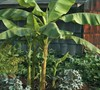 Basjoo Hardy Banana