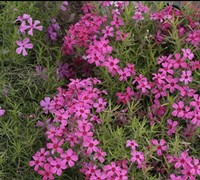 Emerald Pink Phlox Picture