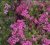 Emerald Pink Phlox