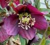 Royal Heritage Lenten Rose