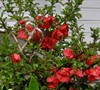 Texas Scarlet Flowering Quince