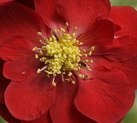 Texas Scarlet Flowering Quince Picture